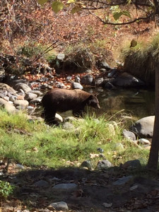 The Kaweah River, outside our front door. (oh... and a bear!)